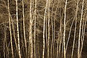 Aspen trees; Turnbull National Wildlife Refuge, eastern Washington.