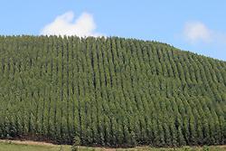 Queluz, SP, Brasil. 28/mar/2005.Area de reflorestamento com eucaliptos./ Reforestation area with eucalyptus..Foto Adri Felden/Argosfoto