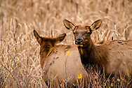 Cow elk, Cervus Canadensis, Charles M Russell National Wildlife Refuge, Montana, cattails