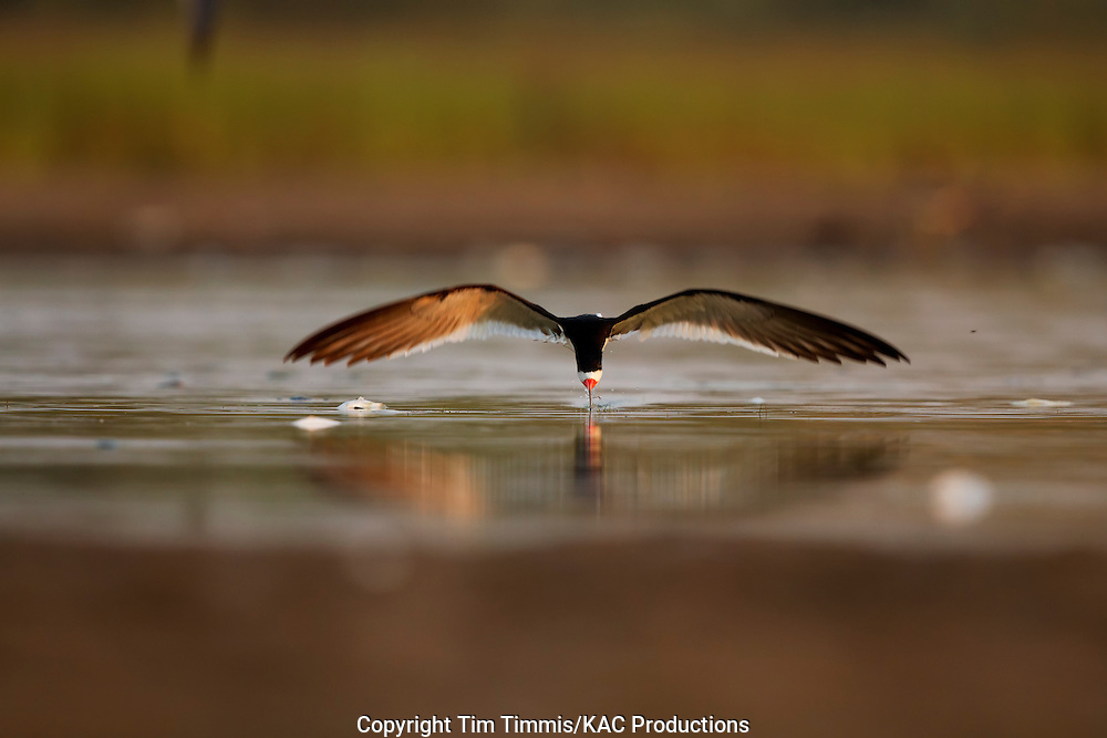 Black Skimmer, Rynchops niger, Bryan Beach, Texas gulf coast, skimming, head-on, beak in water