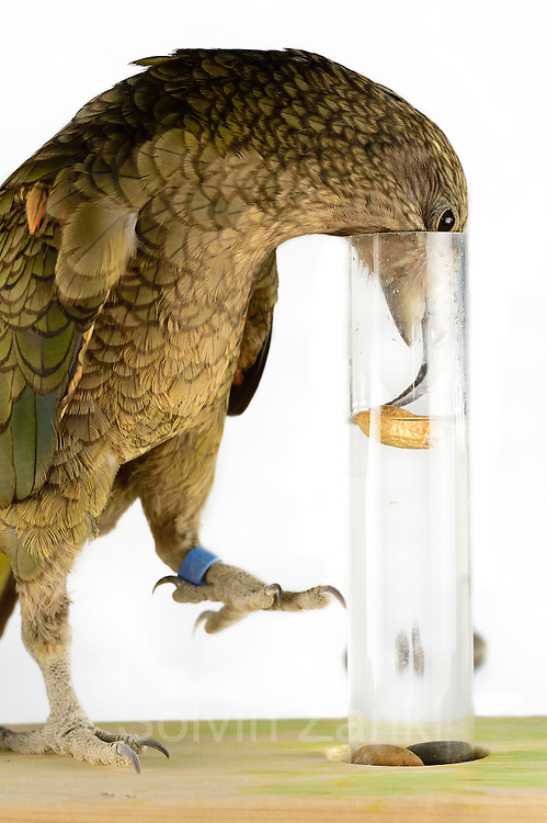 [captive] In this experiment, the Kea (Nestor notabilis) is presented three tubes filled with water, large or small stones. The Kea learns to drop stones into the tube filled with water until the water level has risen high enough for the Kea to pick up a nut. The picture was taken in cooperation with the University of Vienna (UniVie) and University of Veterinary Medicine Vienna (VetMed). Sequence 13/16. | In diesem Experiment werden dem Kea (Nestor notabilis) drei Röhrchen präsentiert, die entweder mit Wasser, kleinen oder großen Steinchen gefüllt sind. Der Kea wirft gezielt Steine in die Säule mit Wasser, bis die darin befindliche Nuss hoch genug schwimmt, um vom Kea erreicht zu werden. Das Bild wurde in Zusammenarbeit mit der Veterinärmedizinischen Universität Wien und der Universität Wien erstellt. Sequenz 13/16.
