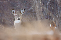 A White-tailed Deer carefully watches us through the undergrowth...©2009, Sean Phillips.http://www.Sean-Phillips.com