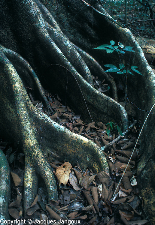 Buttresses of a tree in the Tropical Rain Forest, Amazonas State, Venezuela.