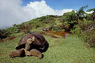 Giant tortoises, Geochelone nigra, Alcedo Volcano, Isabela Island, Galapagos Islands