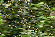 Motion blur of flock of Cobalt-winged Parakeets, Brotogeris cyanoptera, Yasuni National Park, Ecuador