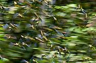 Motion blur of flock of Cobalt-winged Parakeets, Brotogeris cyanoptera, Yasuni National Park, Ecuador