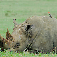 White rhynocero ( Ceratotherium simum ) with redbilled oxpeckers looking for parasites on rhino s skin