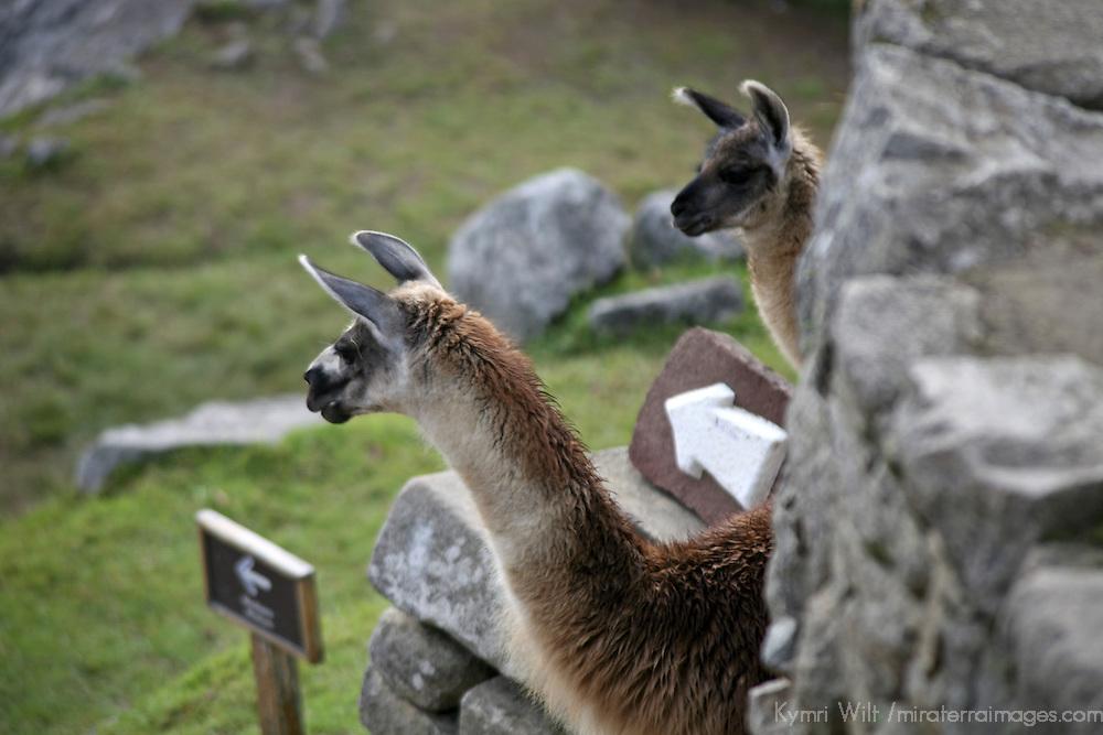 South America, Peru, Machu Picchu. Llamas amongst the ruins at Machu Picchu.