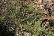 Red Fox (Vulpes vulpes)<br /> Sierra de And&uacute;jar Natural Park, Mediterranean woodland of Sierra Morena, north east Ja&eacute;n Province, Andalusia. SPAIN<br /> <br /> Mission: Iberian Lynx, May 2009<br /> &copy; Pete Oxford / Wild Wonders of Europe<br /> Zaldumbide #506 y Toledo<br /> La Floresta, Quito. ECUADOR<br /> South America<br /> Tel: 593-2-2226958<br /> e-mail: pete@peteoxford.com<br /> www.peteoxford.com