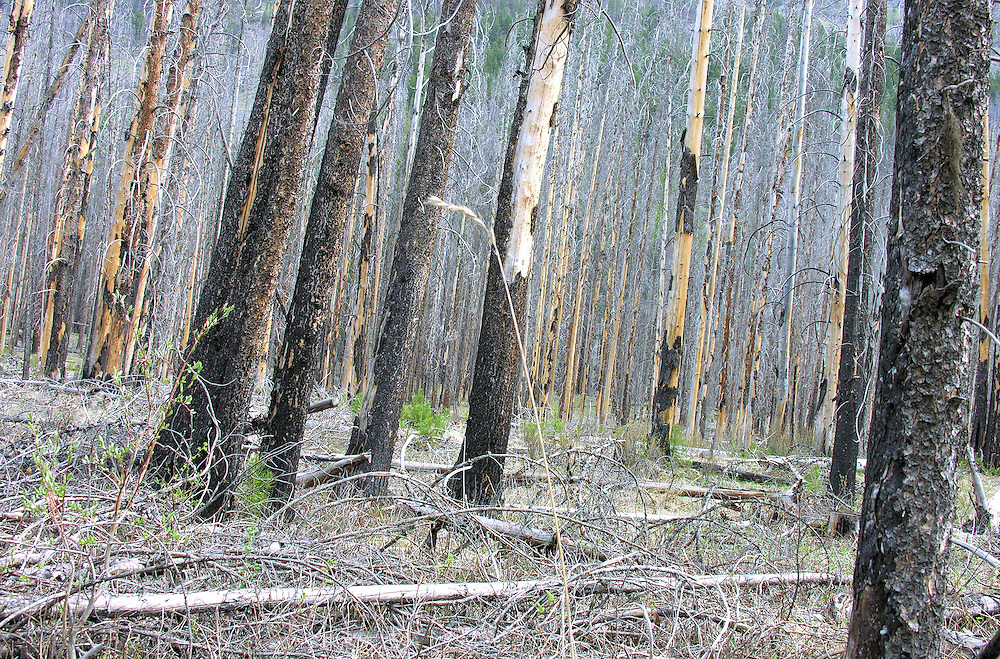 Geen signs of new life.  Banff National Park forest, Alberta, Canada.