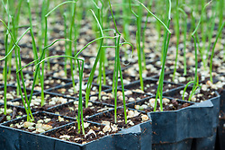 Onion seedlings in a greenhouse in South Hampton, New Hampshire. Heron Pond Farm greenhouse.  February.
