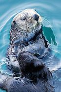 Sea Otter (Enhydra lutris) eating in Seward Boat Harbor on the Kenai Peninsula in Southcentral Alaska. Spring. Evening.