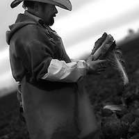 A worker skillfully removes unwanted wrapper leaves from a head of romaine lettuce in the Salinas Valley, California.