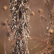 Closeup  photo of brown thistle in Missouri prairie at Shaw Nature Preserve taken by Leandra Lewis.
