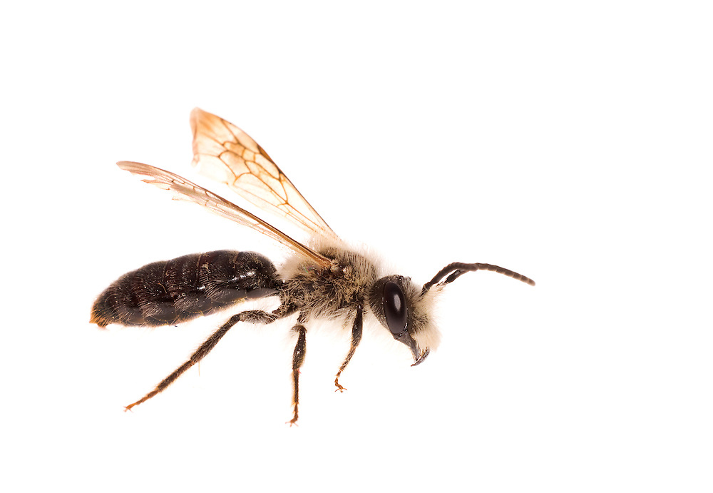 Mining bee (Andrena species), male, South Carolina, USA