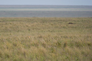 This is one of my favorite images so far. At first glance it appears to be nothing more than a plain landscape shot of the Serengeti. But, as the title alludes to, there is something looking at you. Can you find it?