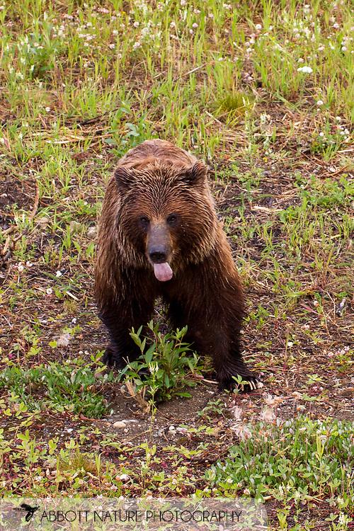 Grizzly Bear (Ursus arctos horribilis) - female<br /> CANADA: British Columbia (Stikine Region)<br /> along Alaska Highway<br /> 18-July-2012<br /> J.C. Abbott &amp; K.K. Abbott