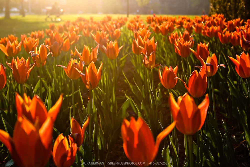 A field of orange tulips in the sun by Laura Berman- GreenFuse Photos.