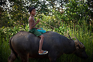 A child brings the Water Buffalo back home in the end of the day, near the City of Dawei, Burma.<br />