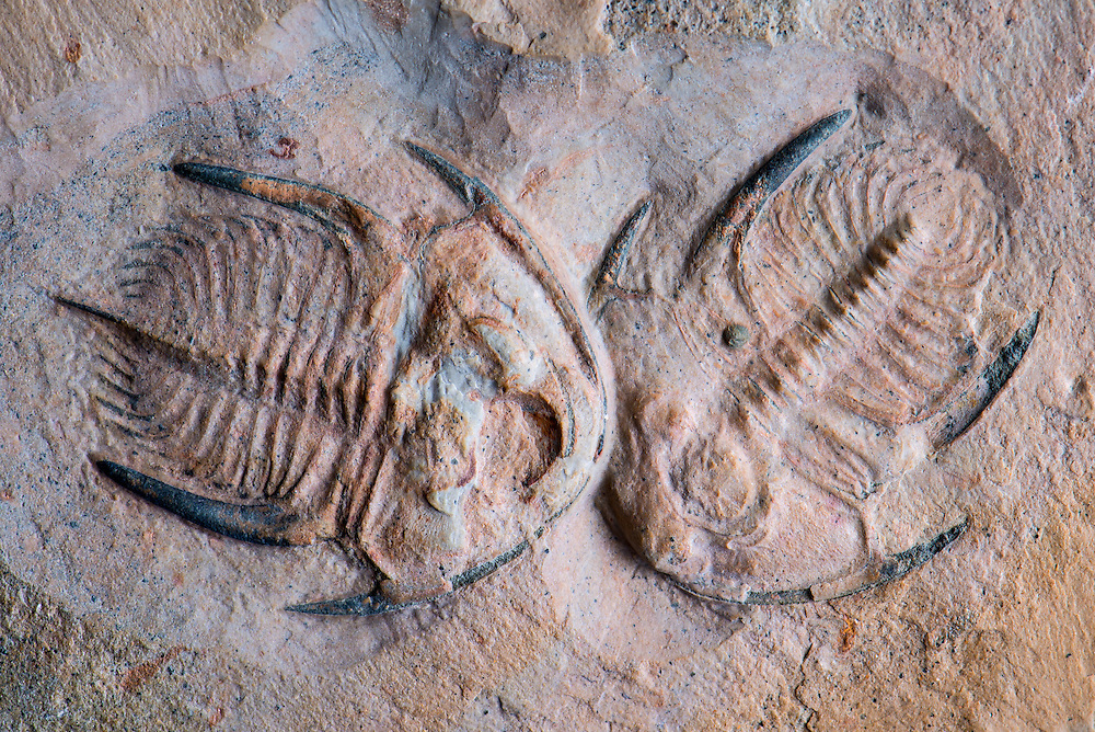 Paranephrolenellus sp. (sagittal length: 29mm) is an exceedingly rare trilobite from the Lower Cambrian Pioche Formation of western Nevada. This double specimen is even rarer.