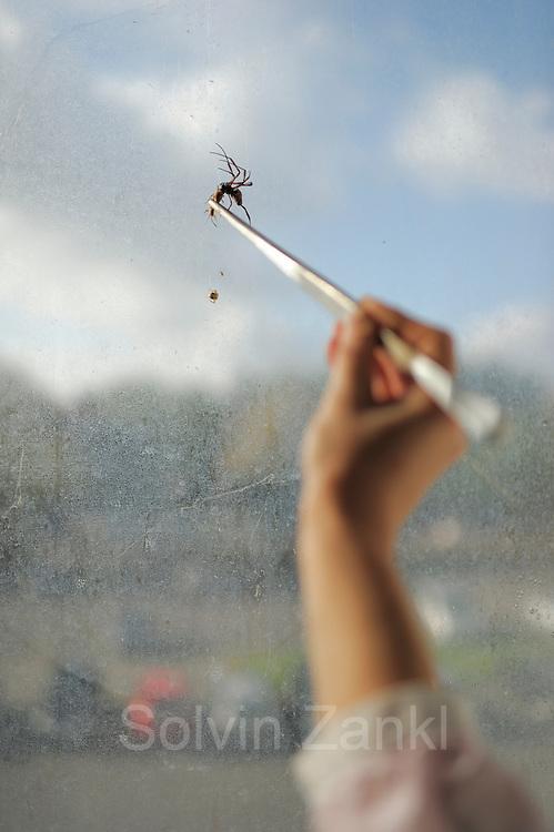 Eine weibliche Goldene Radnetzspinne (Nephila clavipes) wird zur Belohnung gefüttert, nachdem von ihr Spinnenseide gewonnen wurde.