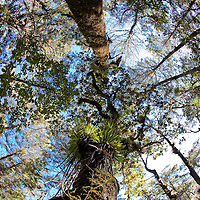 Bromeliad-laden tree in Sierra Gorda, Queretaro Province of Mexico