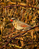 Female Northern Red Cardinal in the afternoon sun. Backyard winter nature in New Jersey. Image taken with a Nikon D2xs camera and 80-400 mm VR lens (ISO 200, 400 mm, f/5.6, 1/640 sec).