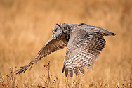 Soaring just a few feet above the ground, a great grey owl combs the meadow in search of prey. Although they sometimes feed on other birds, their diet most often consists of small rodents, including mice, voles and shrews.