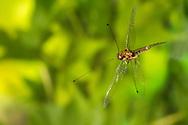 Owlfly (Ululodes floridanus) male flying<br /> United States: Alabama: Tuscaloosa Co.<br />Tulip Tree Springs off Echola Rd.; Elrod<br /> 26-Jul-2016<br />J.C. Abbott #2855