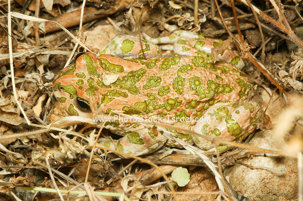European green toad Bufo viridis