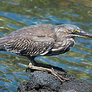 """Juvenile Striated Heron (Butorides striata) at Punta (Point) Espinoza, on Fernandina (Narborough) Island, Galápagos Islands, a province of Ecuador, South America. Also known as Mangrove Heron or Little Heron, the Striated Heron breeds in small wetlands in the Old World tropics from west Africa to Japan and Australia, and in South America. This bird was long considered to be conspecific with the closely related North American species, the Green Heron, which is now usually separated as B. virescens, as well as the Lava Heron of the Galápagos Islands (now B. sundevalli, but often included in B. striata; collectively they were called """"green-backed herons"""". Like other herons, they are traditionally placed in the order Ciconiiformes together with storks, but all these birds form a close-knit group with pelicans, and it is unresolved whether herons are not closer to these than to storks."""