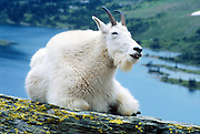 """A mountain goat appears to smile at Hidden Lake in Glacier National Park, Montana, USA. The mountain goat (Oreamnos americanus, or Rocky Mountain Goat) is a large-hoofed mammal found only in North America. It is an even-toed ungulate in the family Bovidae, in subfamily Caprinae (goat-antelopes), in the Oreamnos genus, but is NOT a true """"goat"""" (or Capra genus). Since 1932, Canada and USA have shared Waterton-Glacier International Peace Park, which UNESCO declared a World Heritage Site (1995) containing two Biosphere Reserves (1976)."""