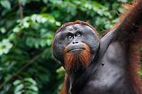 Adult Male Orangutan (Pongo Pygmaeus), Sabah, Malaysia..
