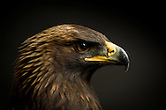 While teaching a workshop found this  wild Golden Eagle that could not get off the ground. We caught her and took her to Montana Wild Rehabilitation Center where she was treated then  released back to the Front Range.