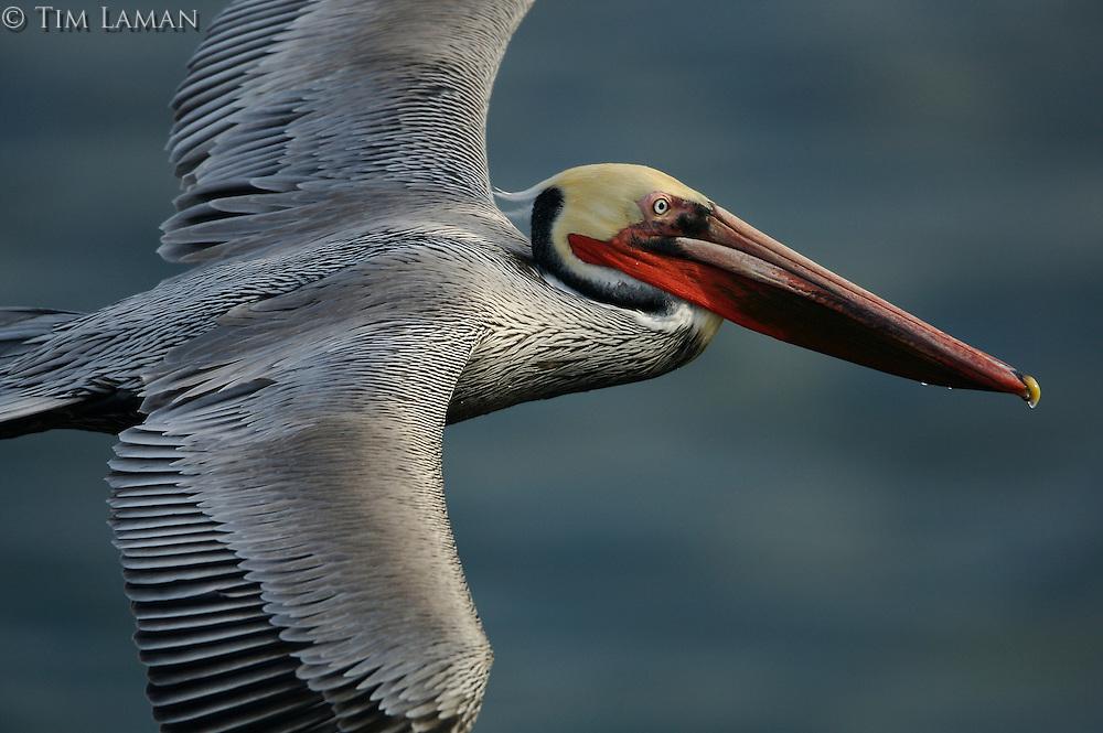 Brown Pelican (Pelecanus occidentalis),in flight