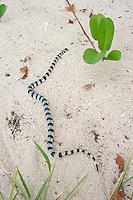 A venomous sea snake called a Yellow Lipped Sea Krait (laticauda colubrina), on a tropical island in the Fiji archipelago..