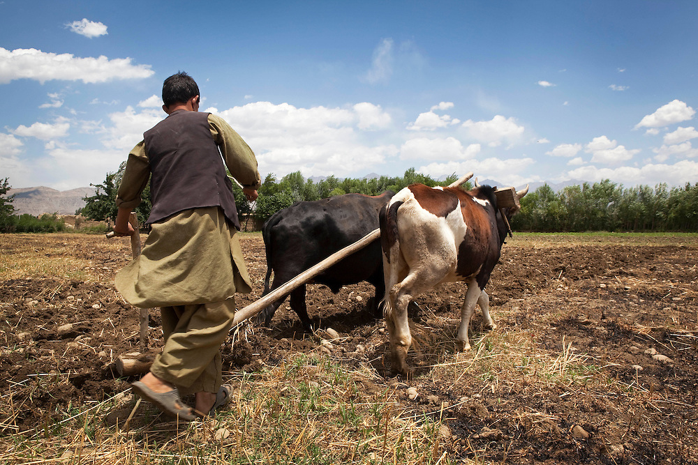 A young farmer, Jamshed, ploughs a field with a team of oxen. Sala Khan Khel, Parwan, Afghanistan on the 5th of July 2010.