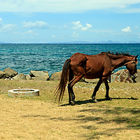 Americas, caribbean, St. Lucia. Horse on grass near beach.