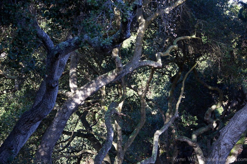 USA, California, Carmel. Oak Trees light and shade.