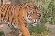 Bengal Tiger approaching through high grass.