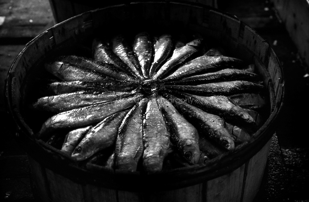 The fish, 108 in this case, are layed and pressed in a wooden barrel before being sent to Italy where they will be sold.