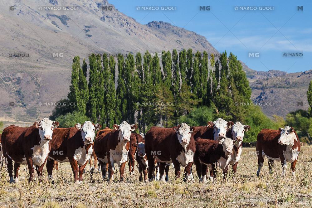 GANADO VACUNO (VACAS Y TERNEROS) RAZA HEREFORD, ESTANCIA LELEQUE, PROVINCIA DEL CHUBUT, ARGENTINA (PHOTO © MARCO GUOLI - ALL RIGHTS RESERVED)