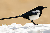 Black-billed Magpie at Rocky Mountain National Park in the Winter. Image taken with a Nikon D300 and 300 mm f/2.8 VR lens (ISO 200, 300 mm, f/2.8, 1/3200 sec).