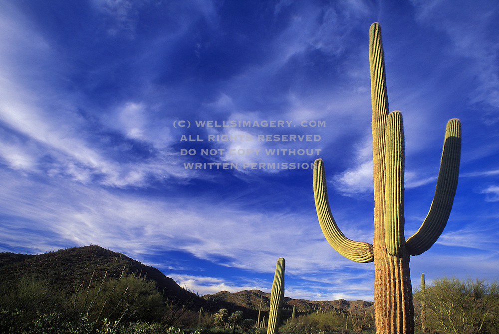 Image of the saguaro cactus at Saguaro National Park, Tucson, Arizona, American Southwest, Sonoran Desert