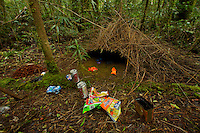 Bower of a Vogelkopf Bowerbird (Amblyornis inornatus) decorated with various pieces of trash.