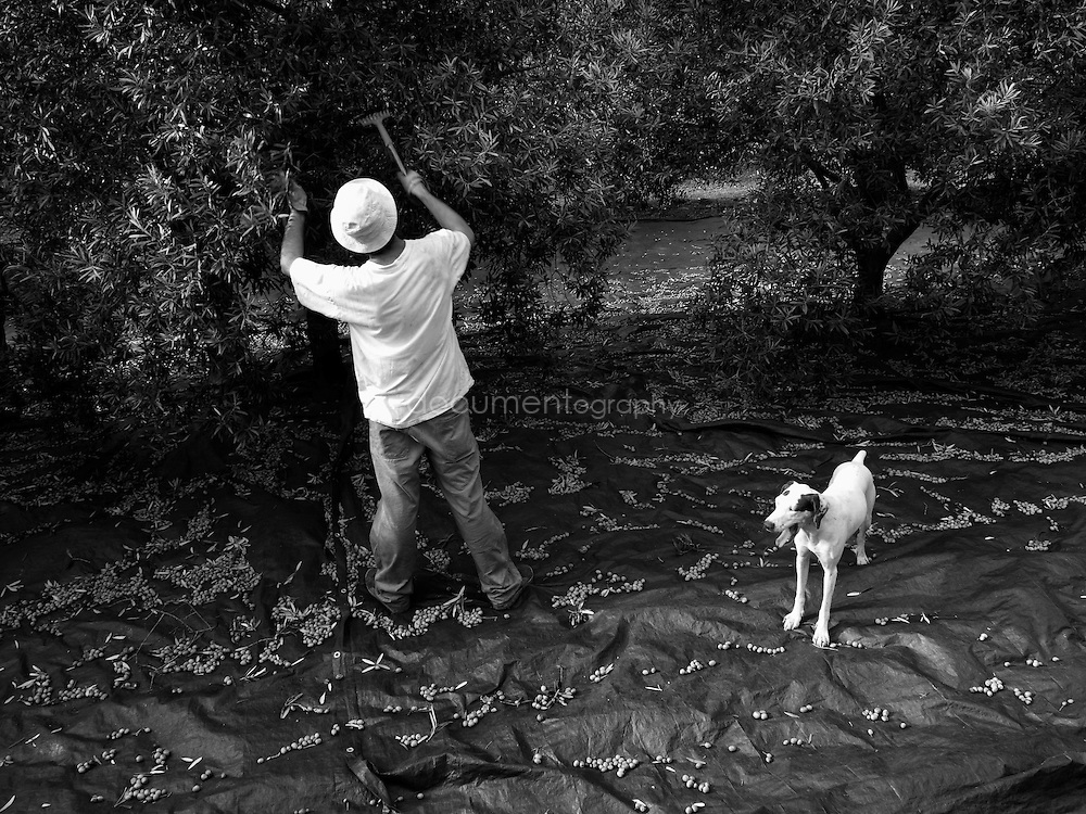 A worker and a dog during the olives' harvest in the Domaine du Jasson, La Londe Les Maures, France.
