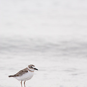 Piping plover (Charadrius melodus). Little Estero Island, Florida.