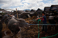 washing water buffalo  Rantepao market, Sulawesi, Indonesia