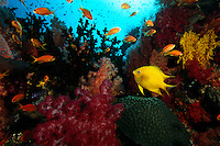 Reef scene with soft and hard corals, anthias and golden damsel fish.