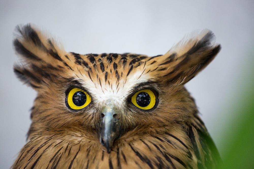 Asia, Malaysia, Kuala Lumpur, Captive Buffy Fish Owl (Ketupa ketupu) at Kuala Lumpur Bird Park